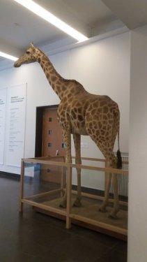 girafa-na-parte-interna